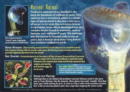 Predatory Tunicate back