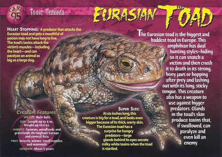 Eurasian Toad front