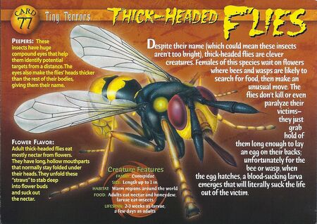 Thick-Headed Flies front