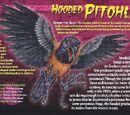 Hooded Pitohui