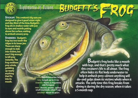 Budgett's Frog front