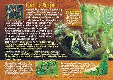 Predatory Bush Cricket back