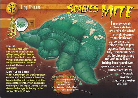 Scabies Mite front