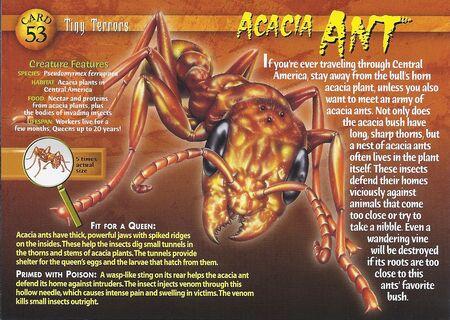 Acacia Ant front