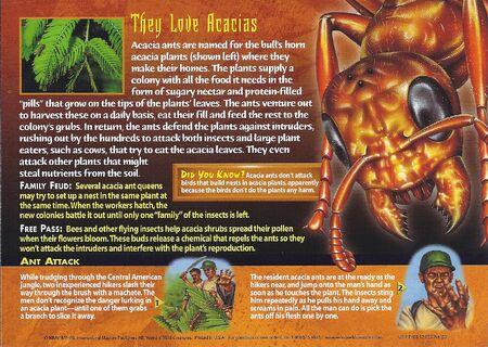 Acacia Ant back