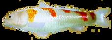 Kohaku Koi AD
