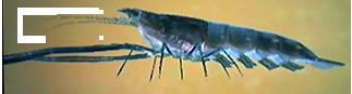 File:Freshwater Prawn AD.png