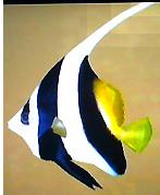 File:Pennant Coralfish AD.png