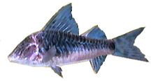 File:Armored Catfish AD.png