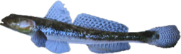YellowfinGoby NB-0