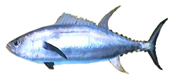 File:Dogtooth Tuna AD.png