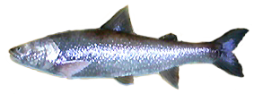 File:Lake Trout AD.png
