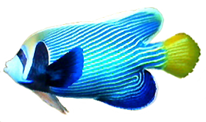 File:Emperor Angelfish AD.png