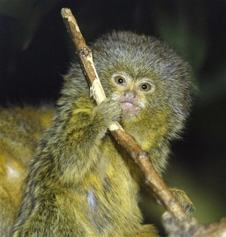 File:Marmoset.jpg