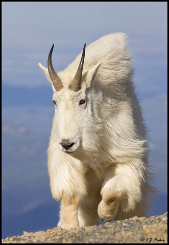 File:CO MountainGoat08.jpg