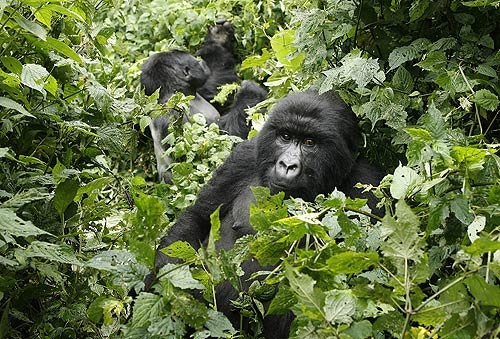 File:TwoMountainGorillasCongo.jpg