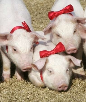 File:3PigletswRedBows.jpg