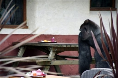 File:ZooGorillaEscapes.jpg