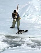 CanadianSealHunt