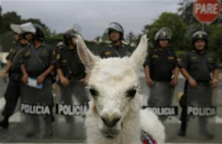 File:Protest Alpaca.jpeg