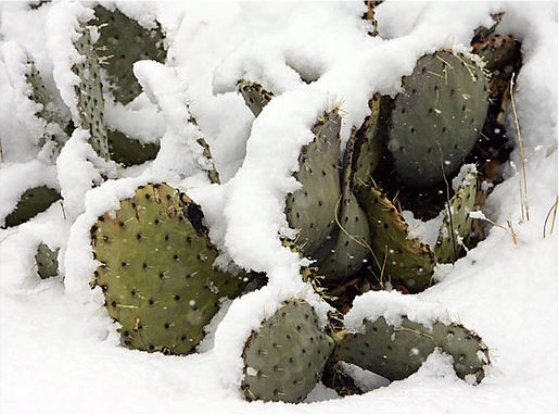 File:SnowcoveredPricklyPearCactus.jpg
