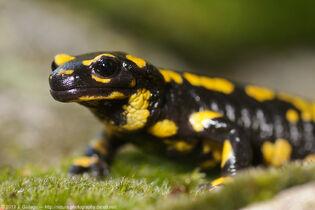 F.Salamandridae