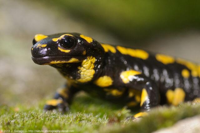 File:F.Salamandridae.jpg