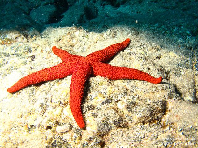 File:Estrella-de-mar-espinosa-IMG 0099.jpg
