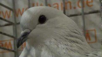 Ice pigeon (fancy pigeon)-0
