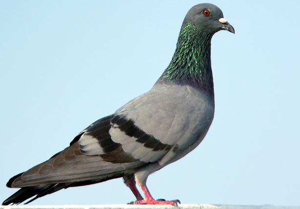 File:Rock pigeon.jpg