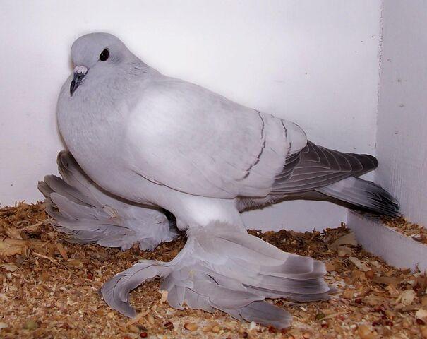 File:Ice Pigeon.jpg