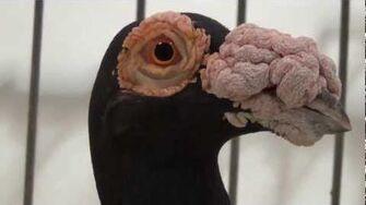 English carrier pigeon black