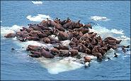 Ice floe walruses