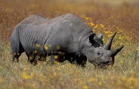 File:Rhinoceros.jpg