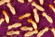 Formosan-termite