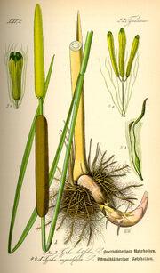 Typha latifolia Dr Otto