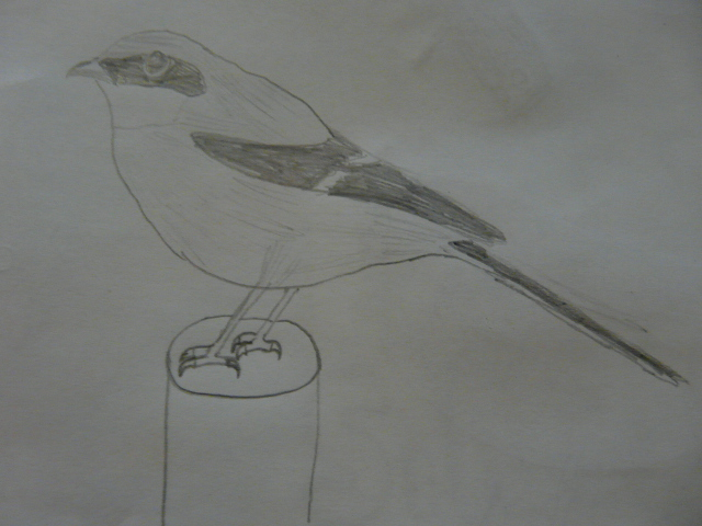 File:Loggerhead Shrike paper.jpg