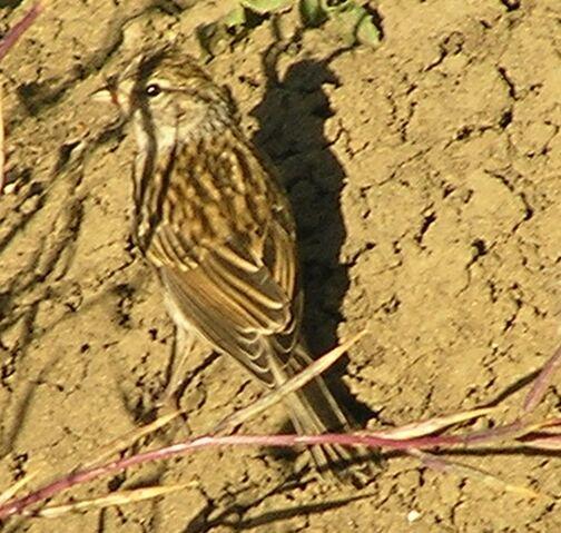 File:Vesper Sparrow.jpg
