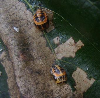 File:Harlequin ladybird pupa.jpg