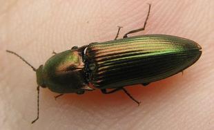 Resplendant Click beetle 3