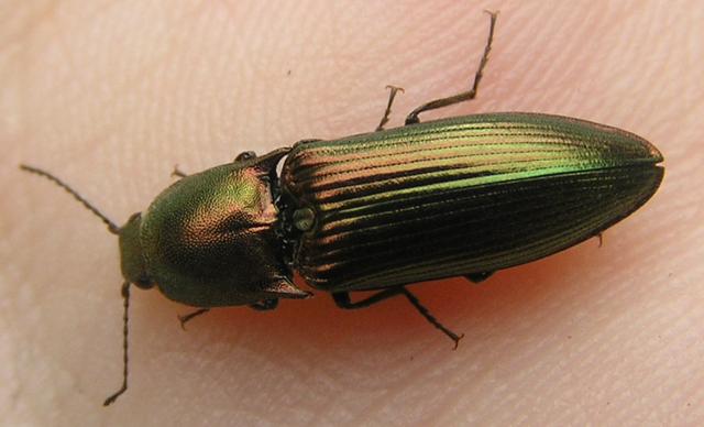File:Resplendant Click beetle 3.png