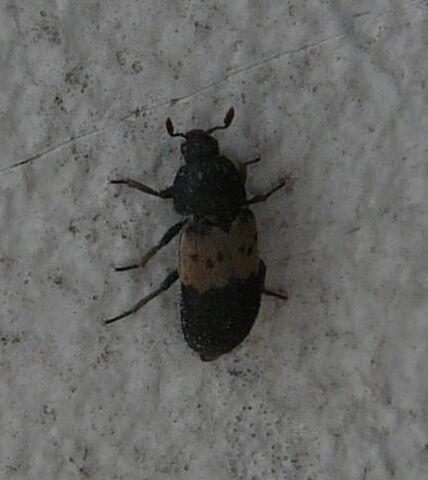 File:Larder beetle.jpg