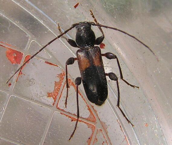File:Phymatodes dimidiatus.jpg