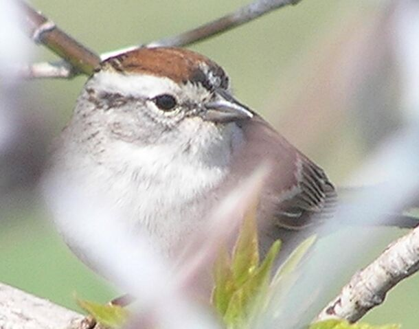 File:Chipping Sparrow c.jpg