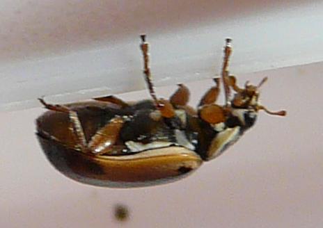 File:Hudsonian ladybird 3.jpg