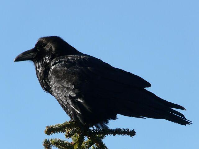 File:Common Raven 1.jpg