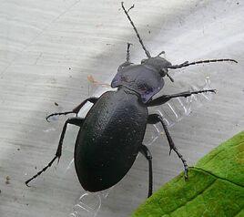 European carabid beetle
