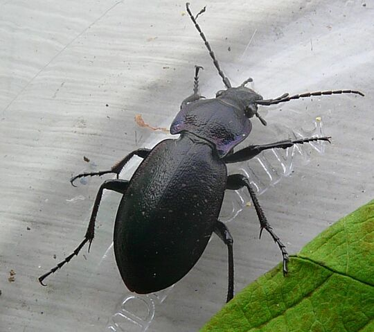File:European carabid beetle.jpg
