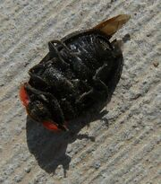 Margined carrion beetle2
