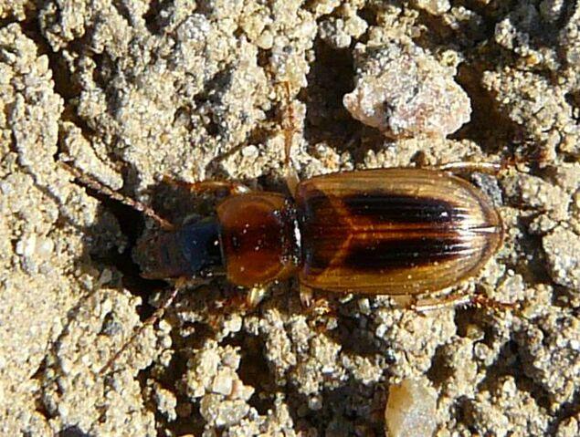 File:Seedcorn beetle1.jpg